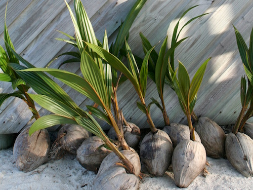 Coconut plants in Belize