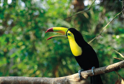 Birding in Belize